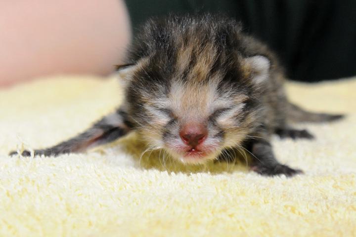 Black-footed-cat-kitten-8