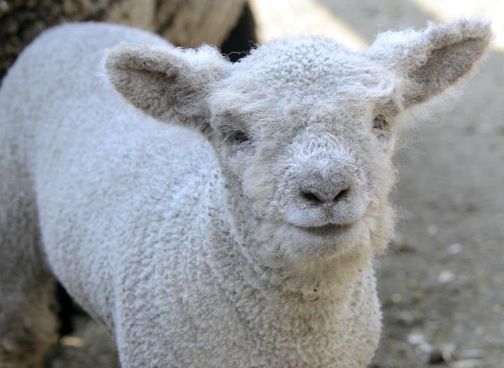 Lamb CU crop