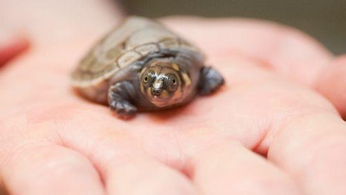 Turtle CU