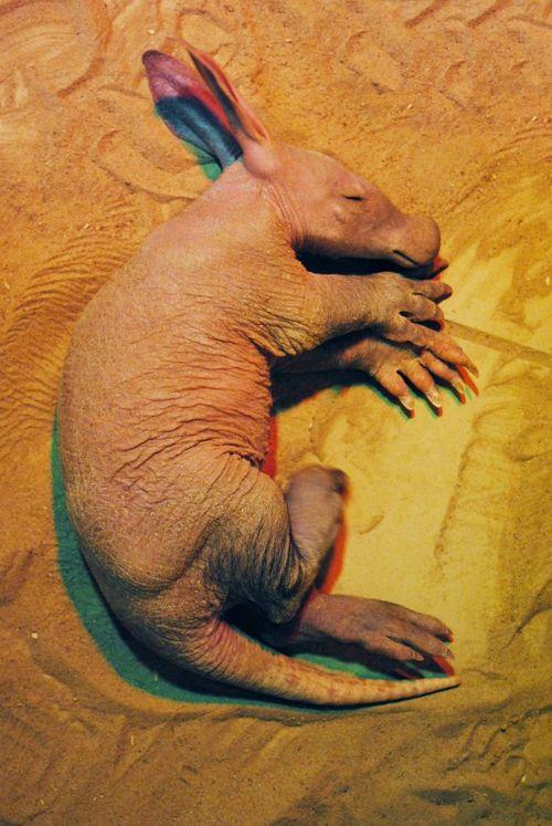 Baby Aardvark Asleep at Colchester Zoo1
