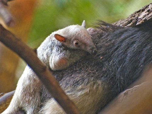 Minnesota Zoo Baby Anteater 2