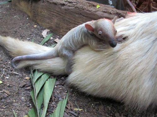 Baby Tamandua with Mom at Minnesota Zoo