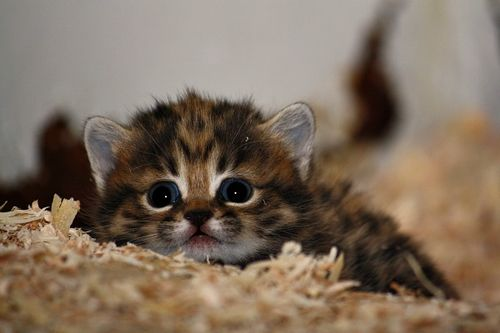 Blackfooted Kitten up close and personal
