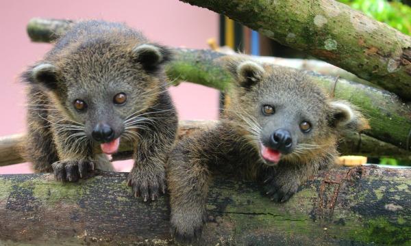 Baby Bearcats Singapore Zoo Night Safari!