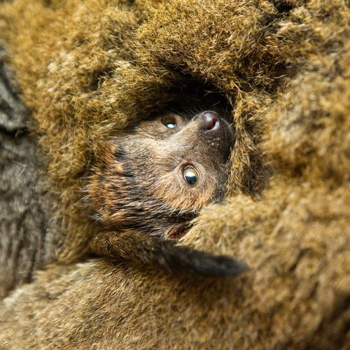 BG-Mongoose-Lemur-5