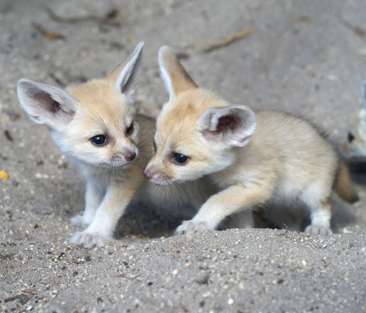 Palm_Beach_Zoo_Fennec-Fox-5
