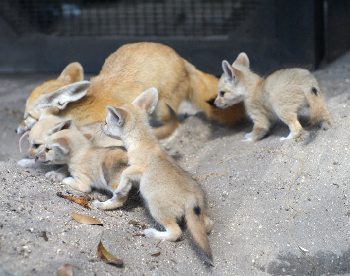 Palm_Beach_Zoo_Fennec-Fox-4