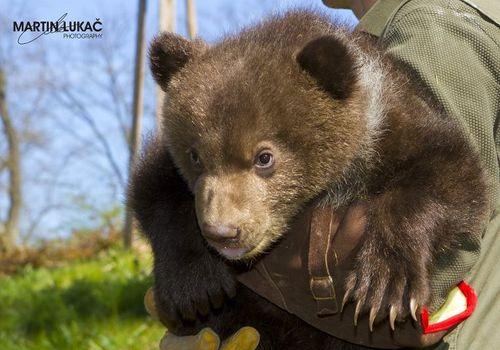 Chubby bears with cubs