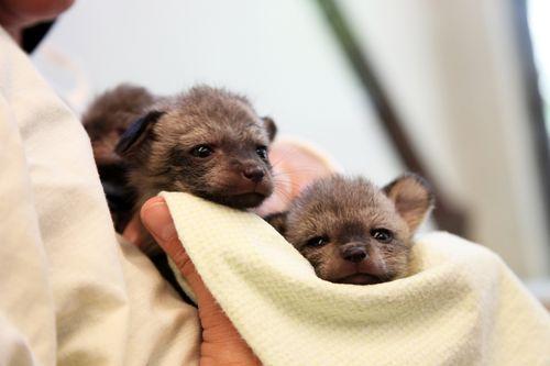 Cincinnati_Zoo_Bat-Eared_Fox_2