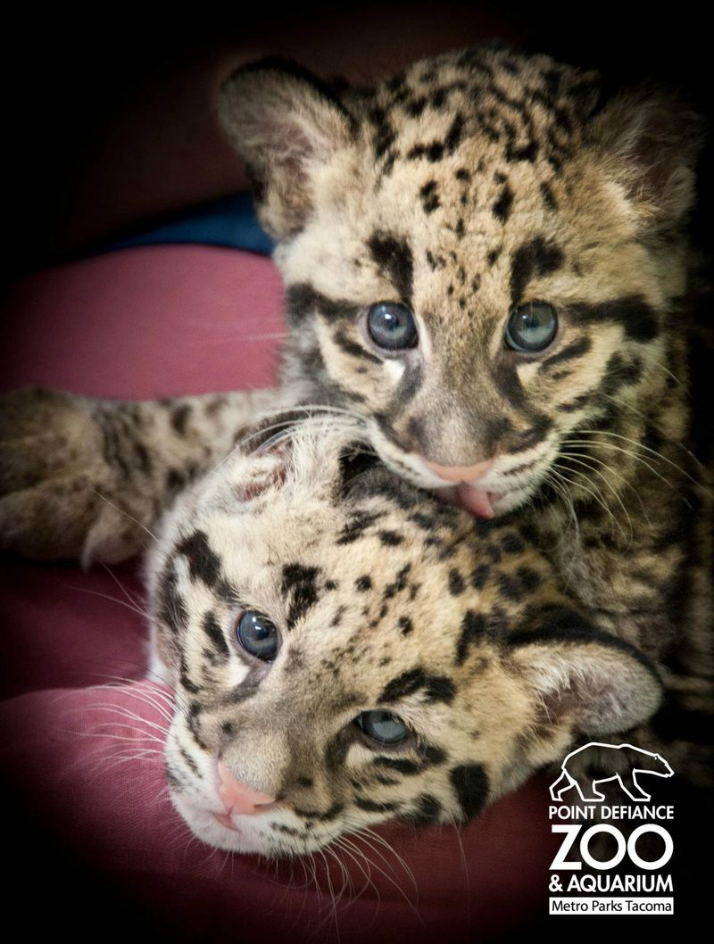 Point Defiance Zoo Clouded Leopard Cubs 8