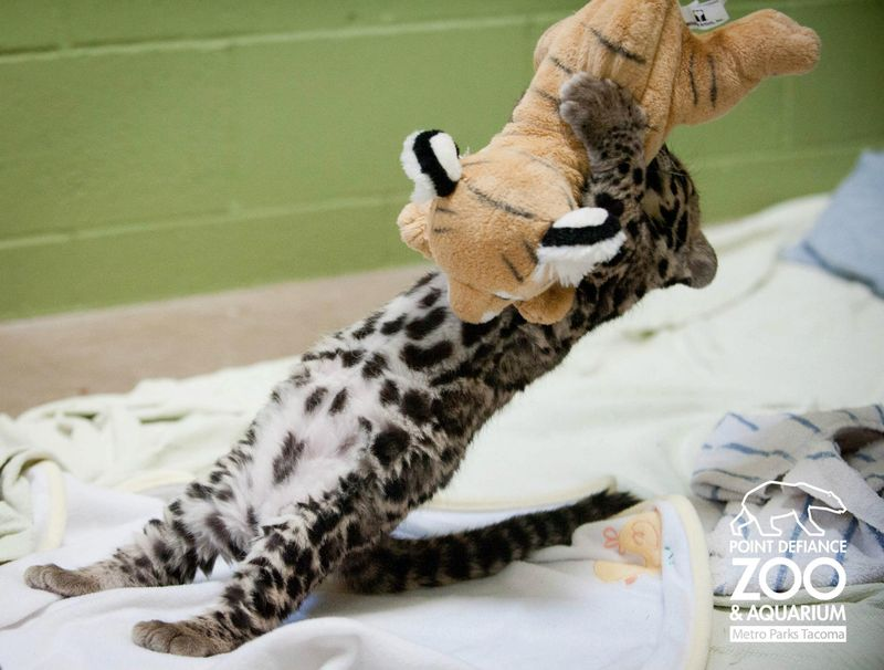 Point Defiance Zoo Clouded Leopard Cubs 4