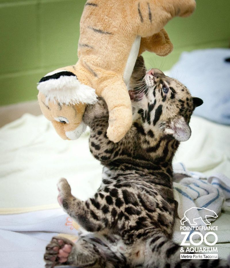 Point Defiance Zoo Clouded Leopard Cubs 5