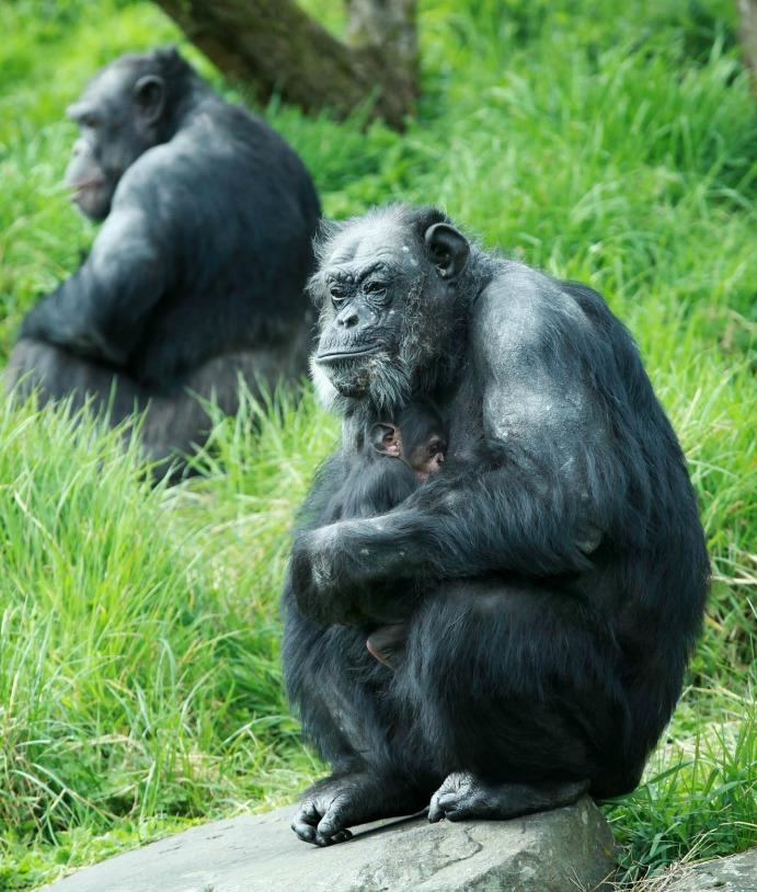 2 chimps