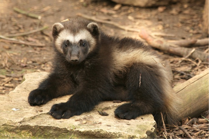 Wolverine Cub at Cotswold Wildlife Park 1