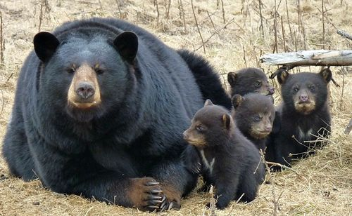 Baby Bear Cubs Zoo Sauvage With Mom 1