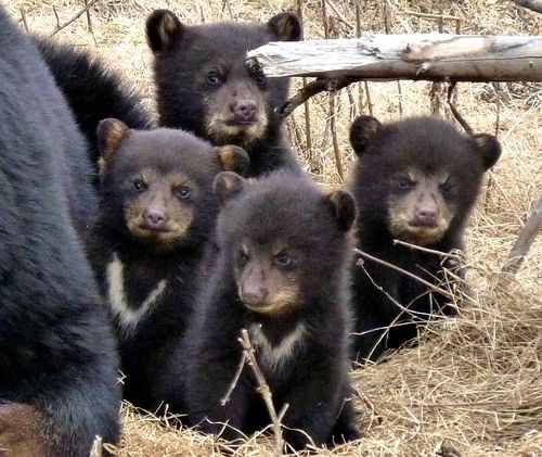 Baby Bear Cubs Zoo Sauvage Up Close 1