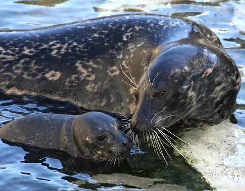 Harbor Seal Pup and Mom 1