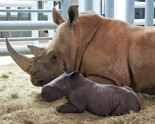 Rhino-Baby-with-mother