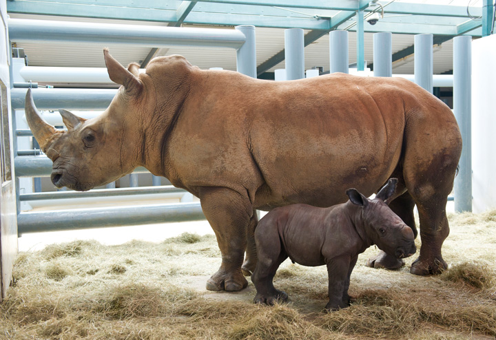 Rhino-baby-with-mother-4