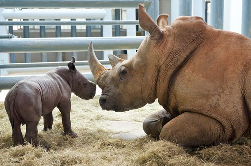 Rhino-baby-with-mother-21