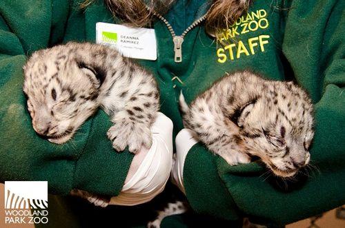 Snow Leopard Cub Woodland Park Zoo 2