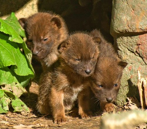Dhole Pupst at Minnesota Zoo 1
