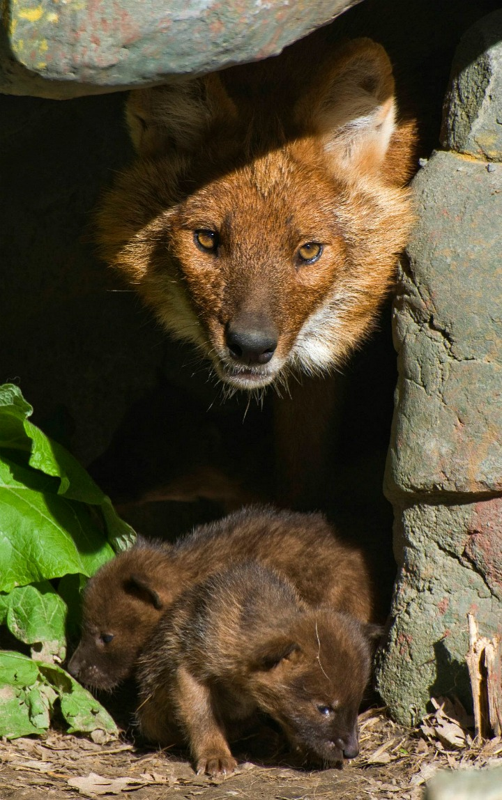 Dhole Pupst at Minnesota Zoo 2