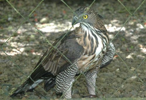 Adult Pinsker's Hawk-Eagle