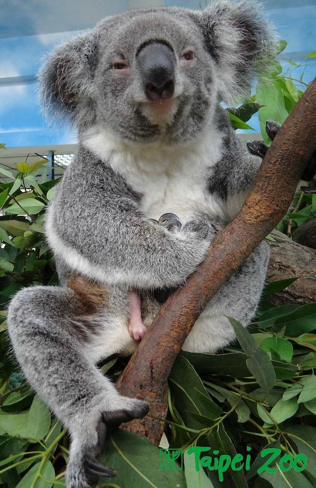 Koala Joey Taipei Zoo