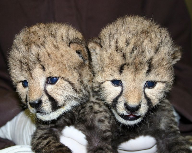 Simthsonian-Zoo-Cheetah-Cubs6