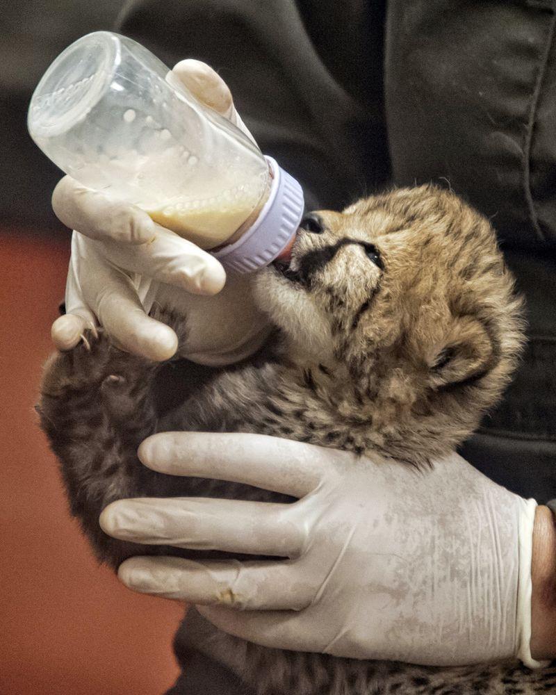 Simthsonian-Zoo-Cheetah-Cubs2