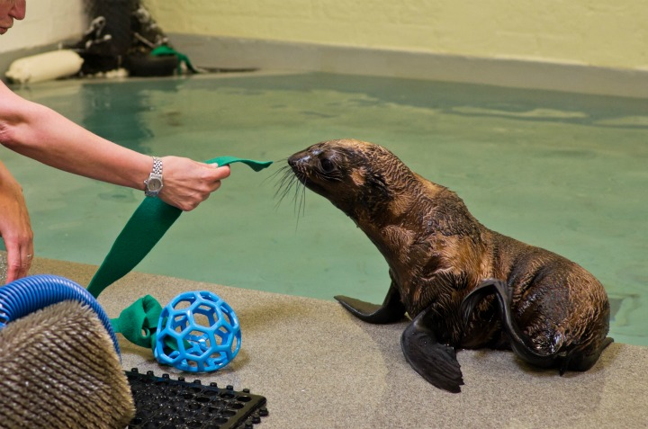 Fur Seal Pup Playtime