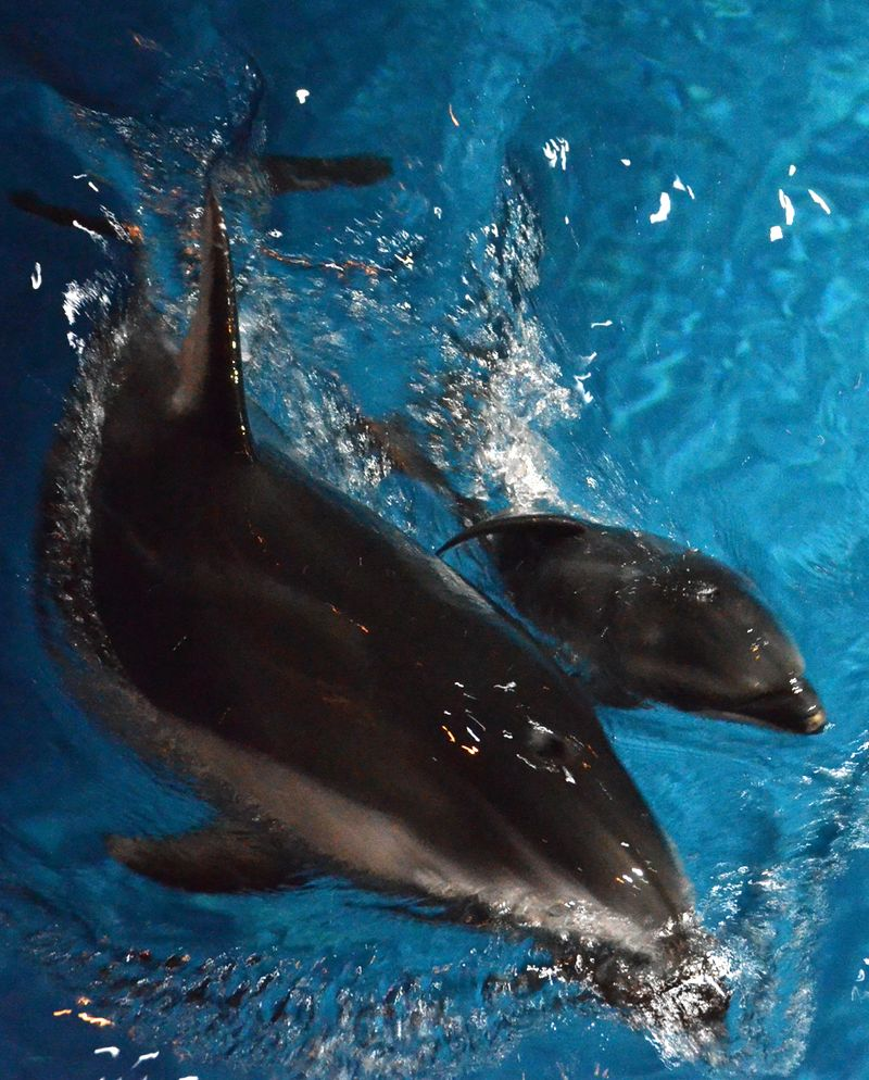Shedd Dolphin Pup 3