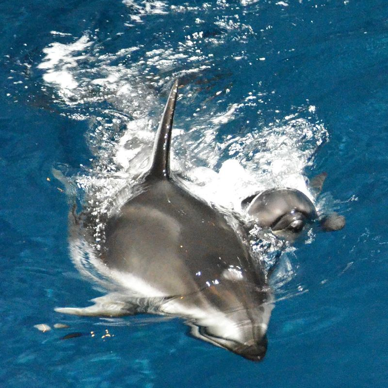 Shedd Dolphin Pup