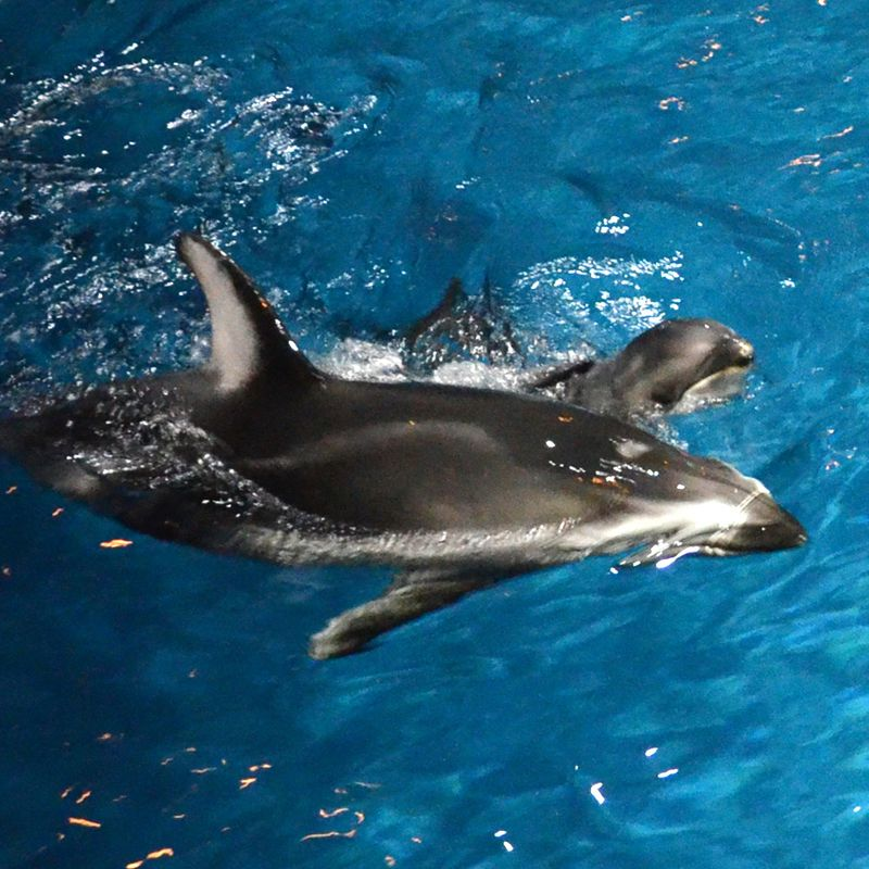 Shedd Dolphin Pup 8