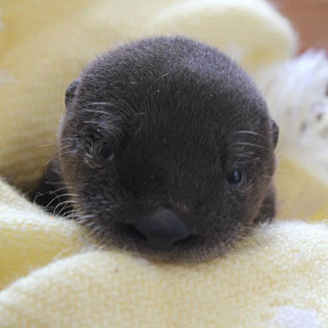 Otter-Pup-Virginia11