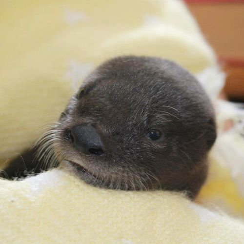 Otter-Pup-Virginia7