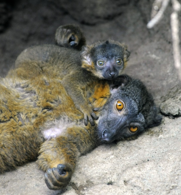 _Julie Larsen Maher 6830 Collared Lemur and Baby MAD BA 04 27 12