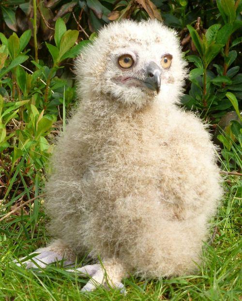 Turkmenian Eagle owlet (2)