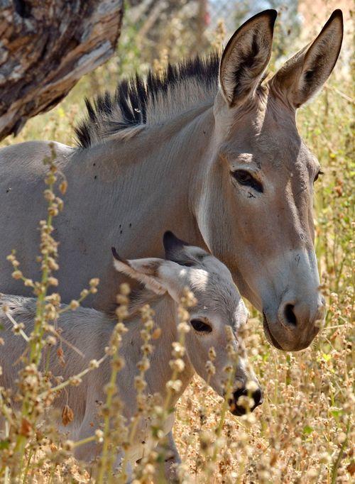 Ramat-Gan-Wild-Ass-Foal5