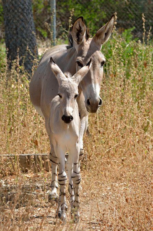 Ramat-Gan-Wild-Ass-Foal6