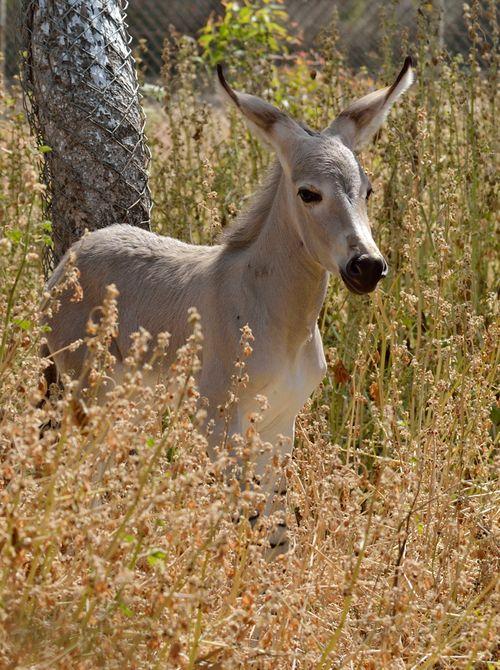 Ramat-Gan-Wild-Ass-Foal4