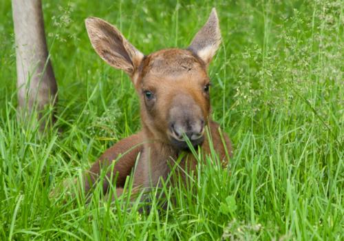 Moose CU
