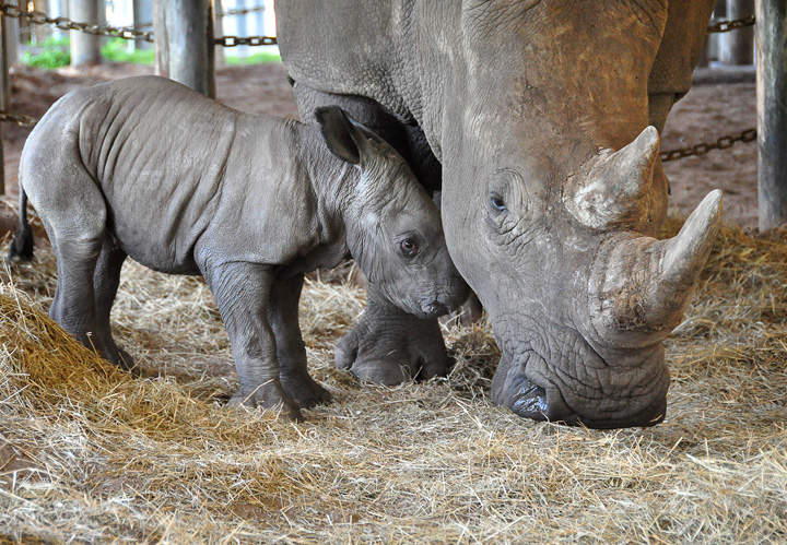 New-white-rhino-and-mom-press-release