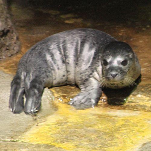 Moody-Gardens-Seal-Pup-Riley2