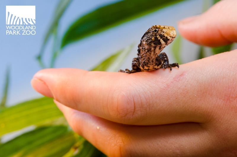 Chinese Crocodile Lizard 3