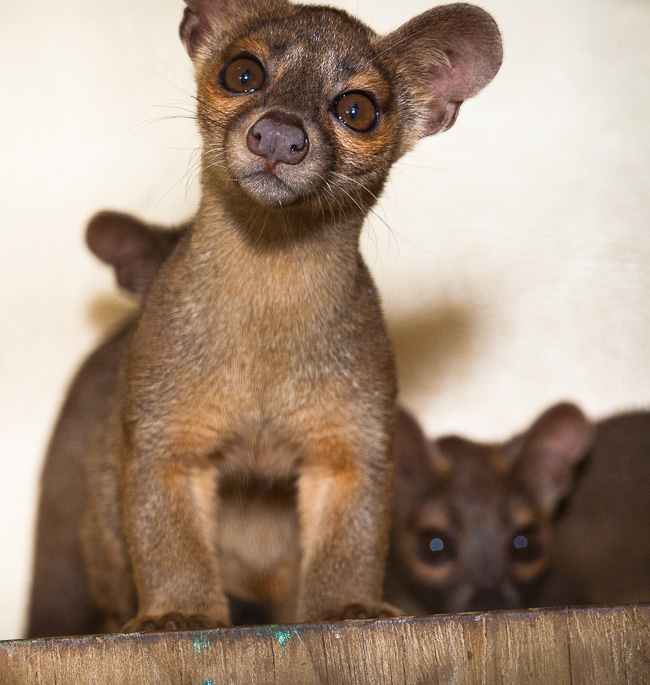 Houston-Zoo-Fossa-pups_2656
