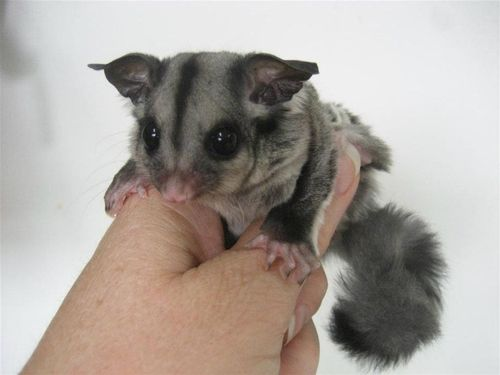 Sugar_Glider_Joey_ZooBorns