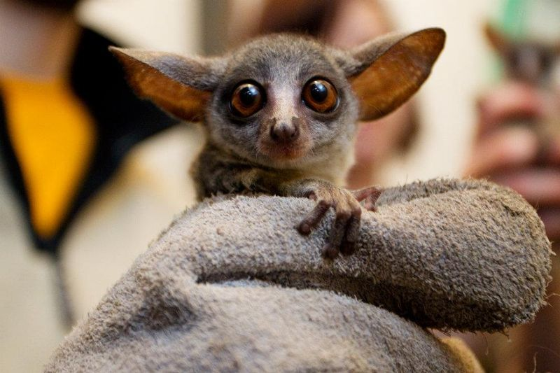 Senegal Bush Baby - Zoo Prague 7