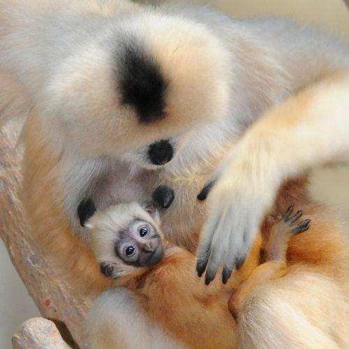 Brookfield-Zoo---White-Cheeked-Gibbon3